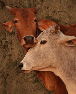 טבעונות נגד פרות